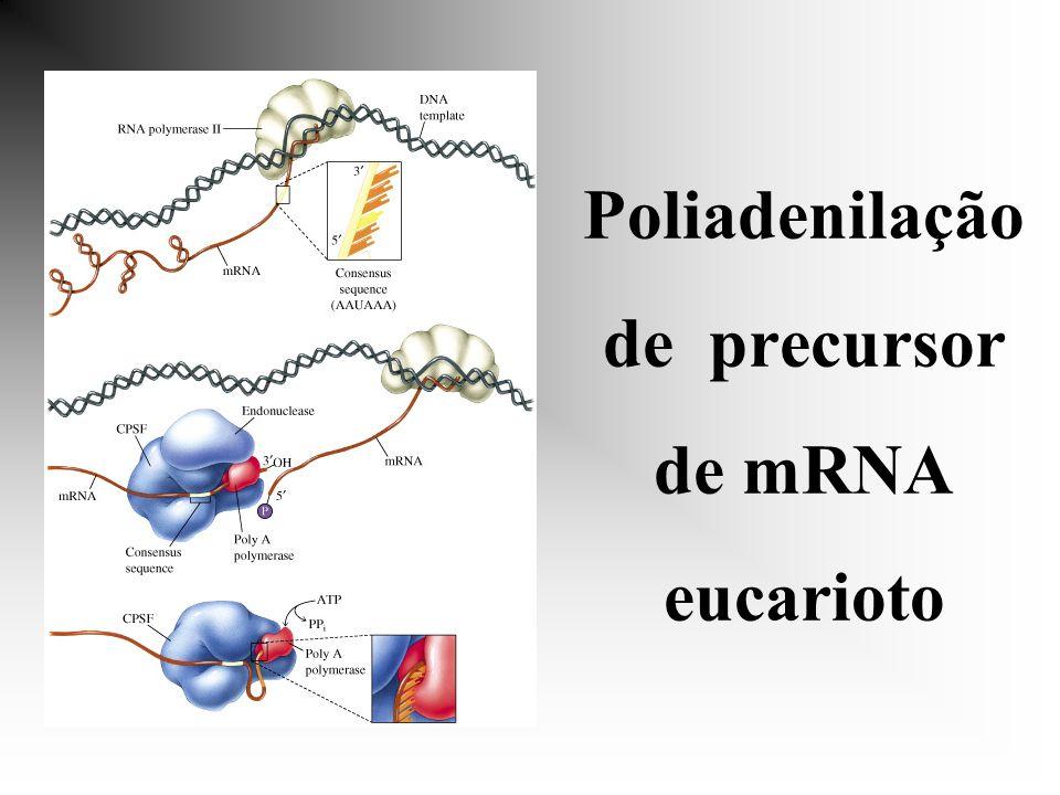 Poliadenilação de precursor de mRNA eucarioto
