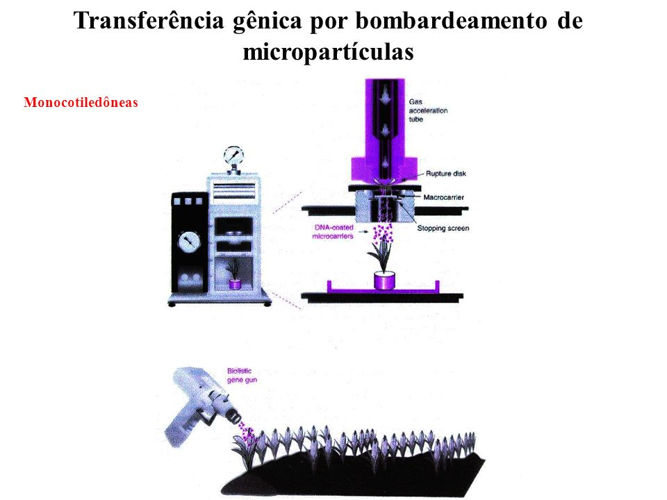 Transferência gênica por bombardeamento de micropartículas