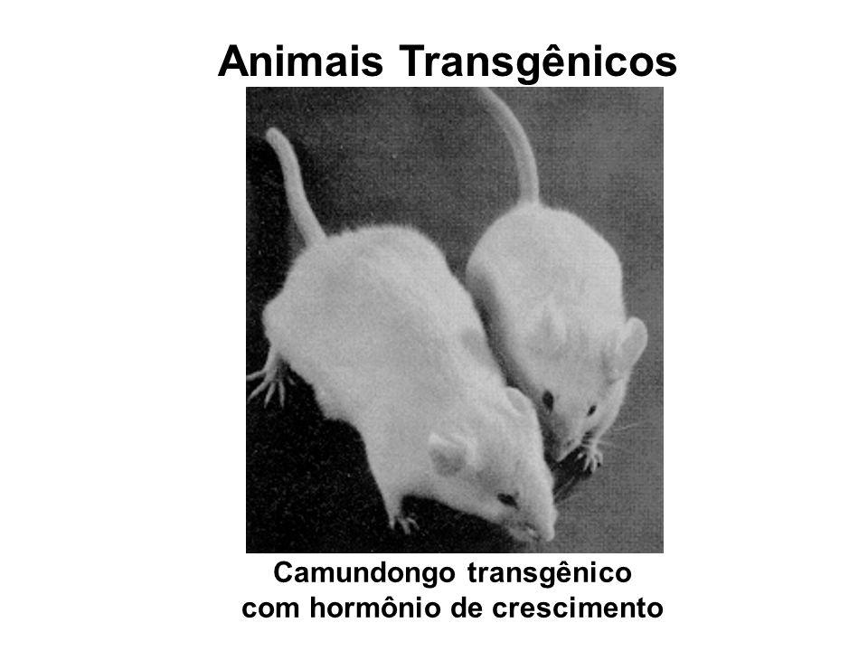 Camundongo transgênico com hormônio de crescimento