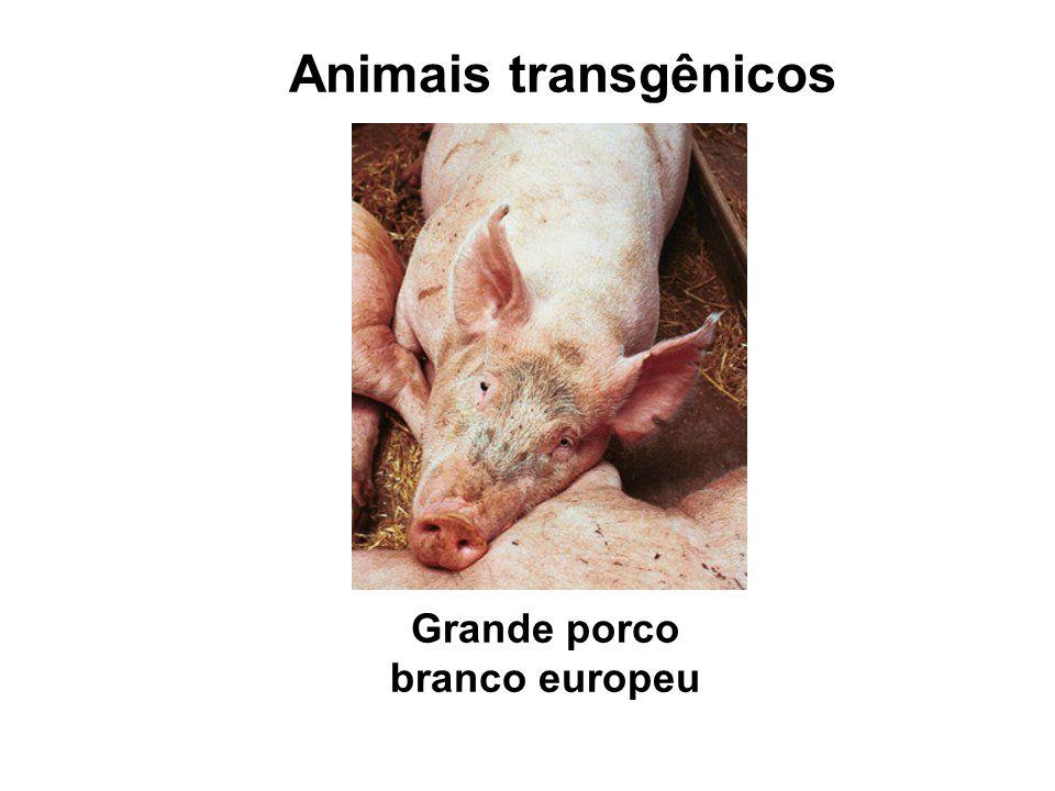 Grande porco branco europeu