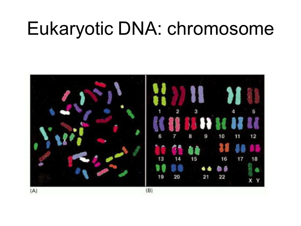 Eukaryotic DNA: chromosome