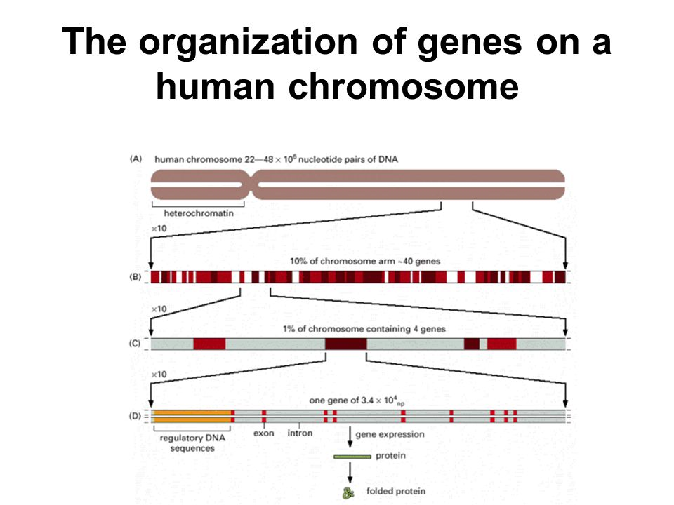 The organization of genes on a human chromosome