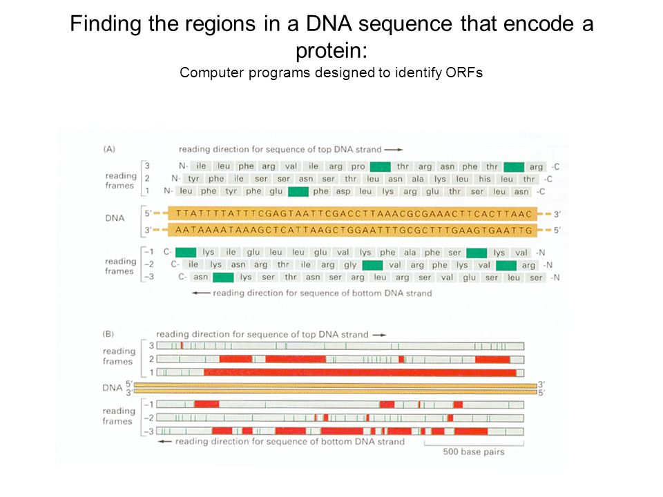 Finding the regions in a DNA sequence that encode a protein: Computer programs designed to identify ORFs