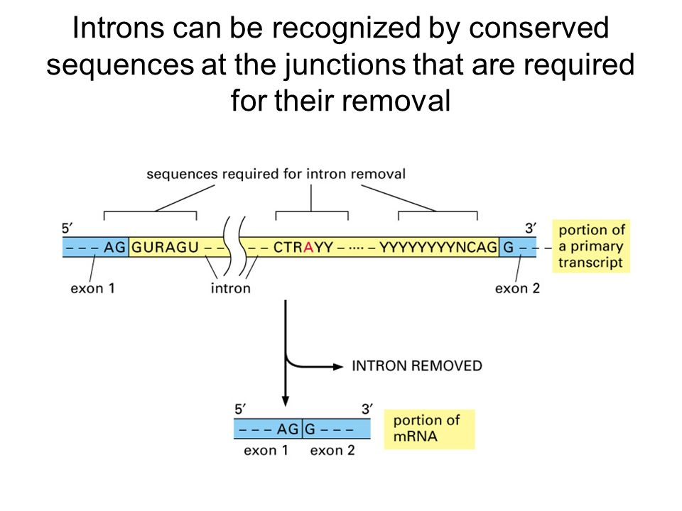 Introns can be recognized by conserved sequences at the junctions that are required for their removal
