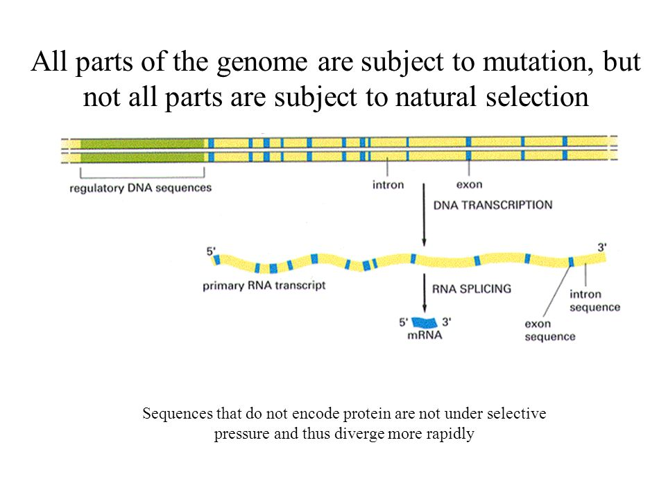 All parts of the genome are subject to mutation, but not all parts are subject to natural selection