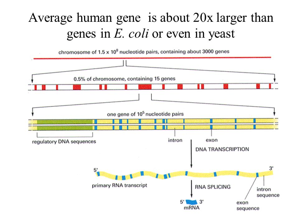Average human gene is about 20x larger than genes in E