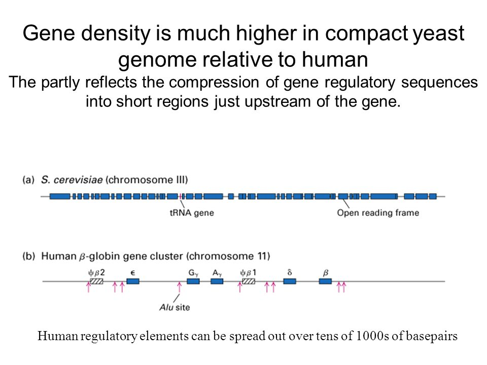 Gene density is much higher in compact yeast genome relative to human The partly reflects the compression of gene regulatory sequences into short regions just upstream of the gene.