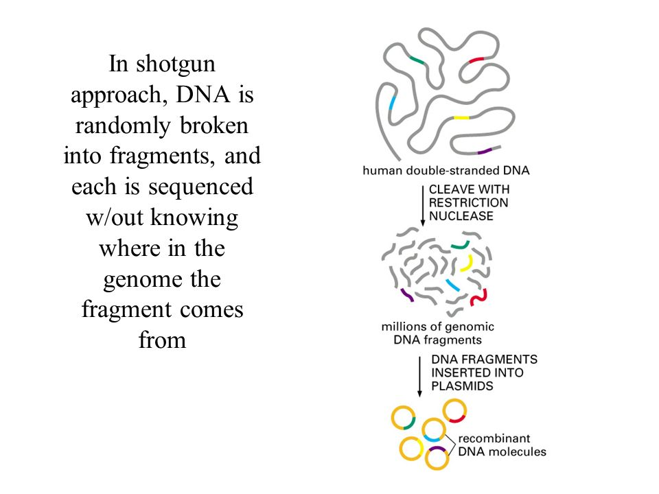 In shotgun approach, DNA is randomly broken into fragments, and each is sequenced w/out knowing where in the genome the fragment comes from