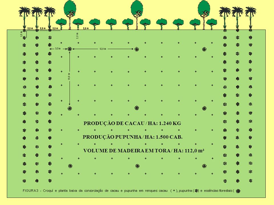 PRODUÇÃO DE CACAU / HA: 1.240 KG