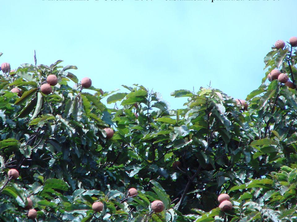 Machadinho d'Oeste – 2007 – castanheira plantada em 1987