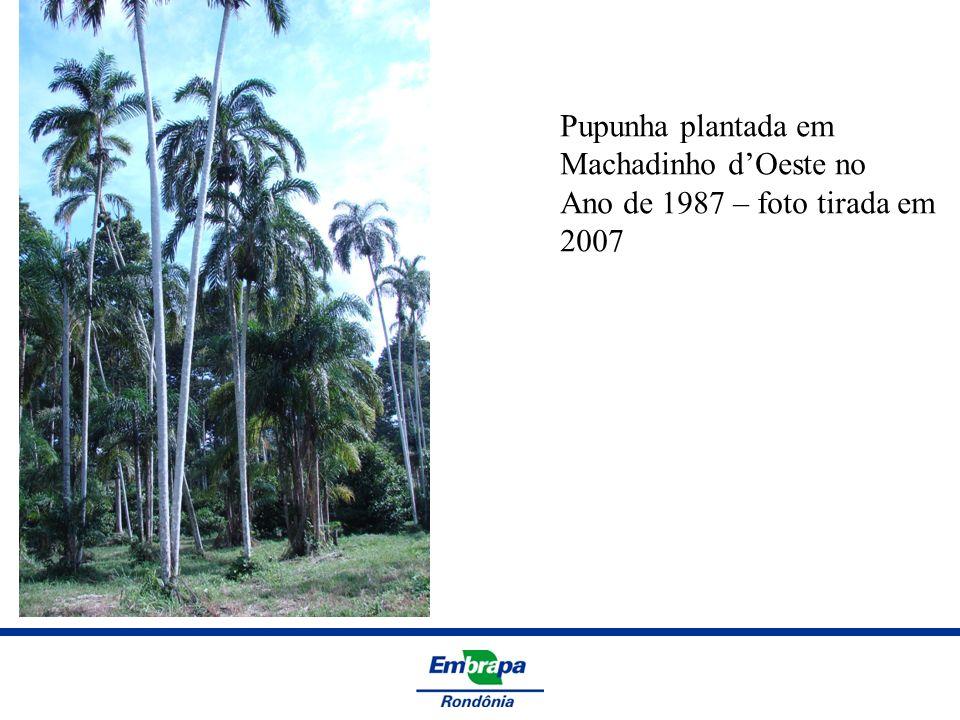 Pupunha plantada em Machadinho d'Oeste no Ano de 1987 – foto tirada em 2007