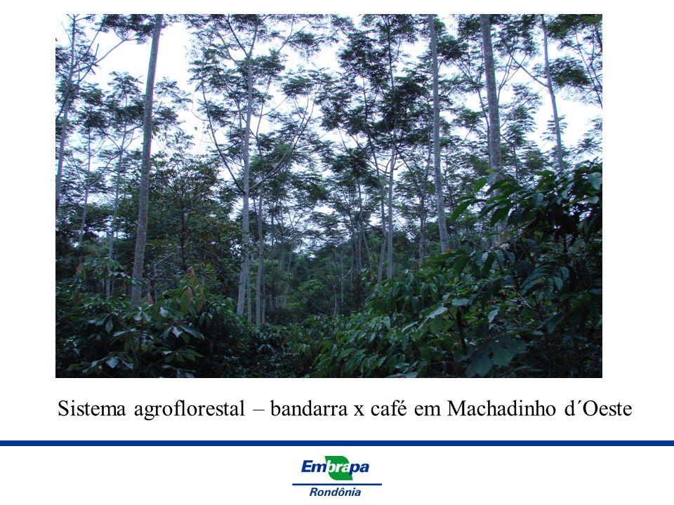 Sistema agroflorestal – bandarra x café em Machadinho d´Oeste