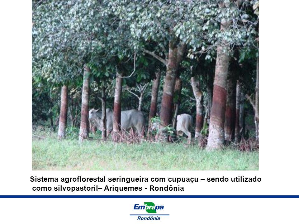 Sistema agroflorestal seringueira com cupuaçu – sendo utilizado