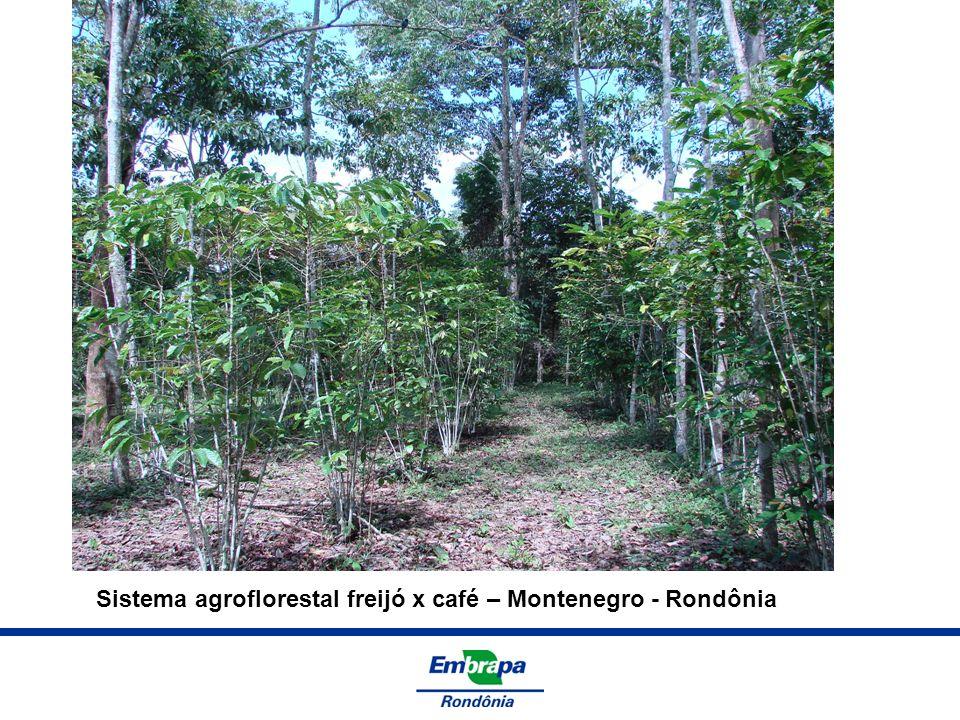 Sistema agroflorestal freijó x café – Montenegro - Rondônia