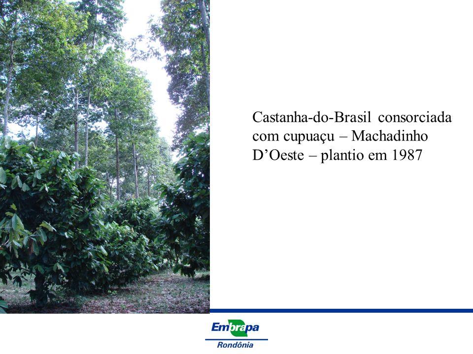 Castanha-do-Brasil consorciada