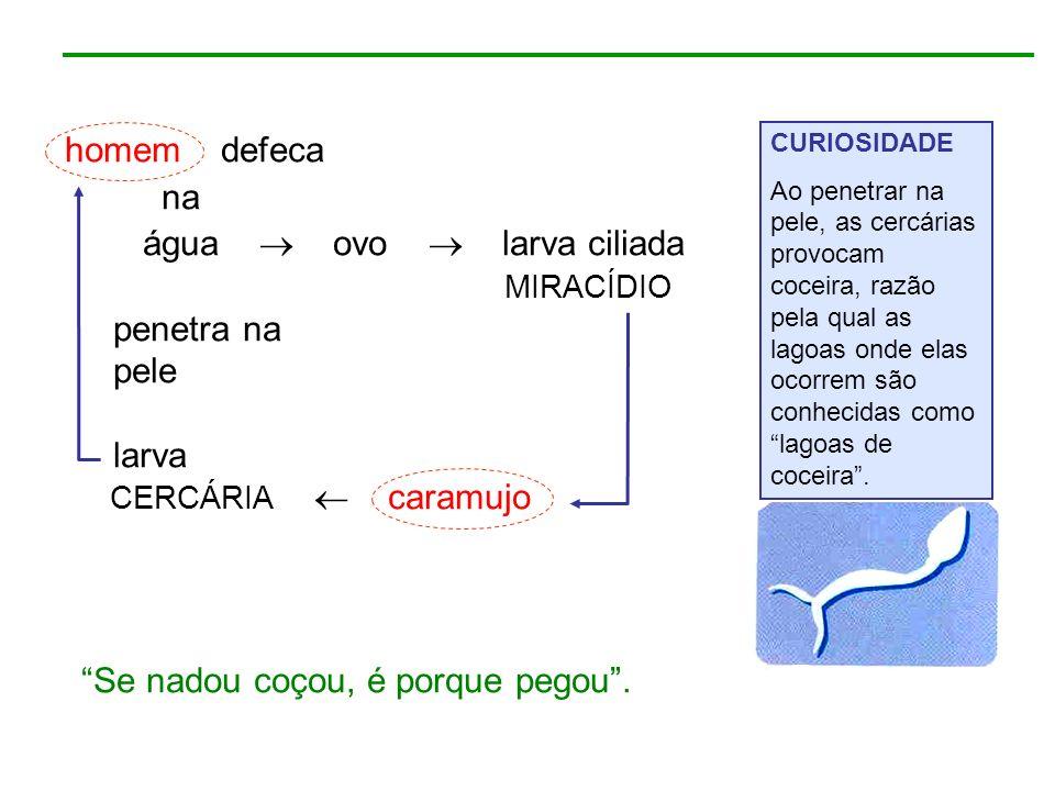 água  ovo  larva ciliada penetra na pele larva