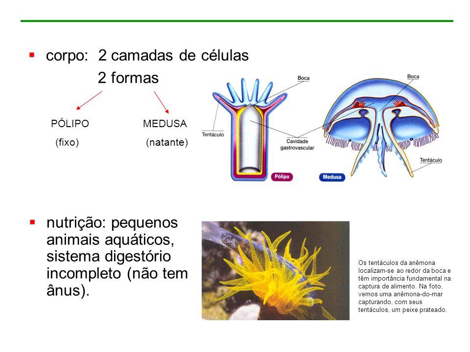 corpo: 2 camadas de células 2 formas