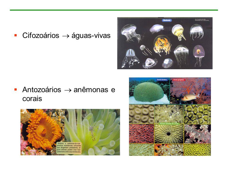 Cifozoários  águas-vivas