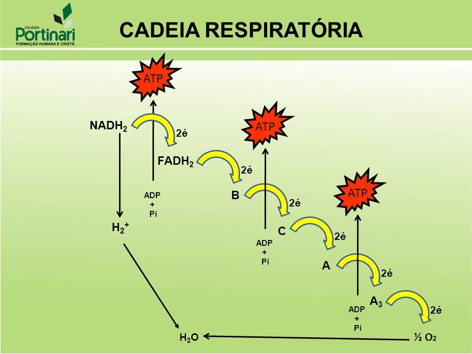 CADEIA RESPIRATÓRIA ATP ATP ATP NADH2 FADH2 B H2+ C A A3 ½ O2 2é 2é 2é