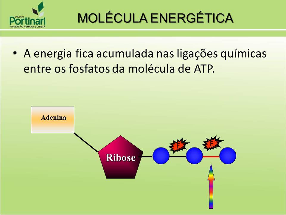 MOLÉCULA ENERGÉTICA A energia fica acumulada nas ligações químicas entre os fosfatos da molécula de ATP.