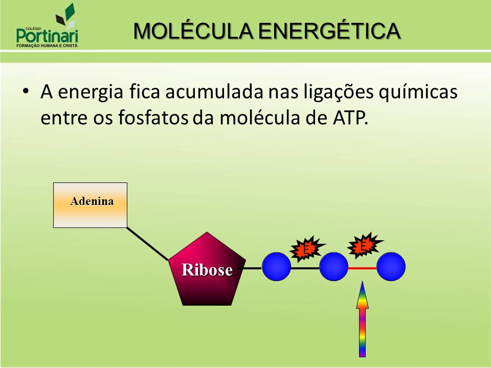 MOLÉCULA ENERGÉTICAA energia fica acumulada nas ligações químicas entre os fosfatos da molécula de ATP.
