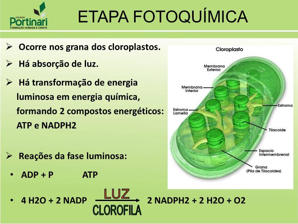 ETAPA FOTOQUÍMICA Ocorre nos grana dos cloroplastos.