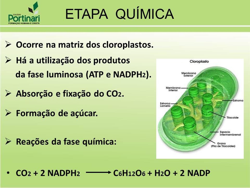 ETAPA QUÍMICA Ocorre na matriz dos cloroplastos.