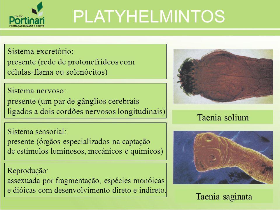 PLATYHELMINTOS Taenia solium Taenia saginata Sistema excretório: