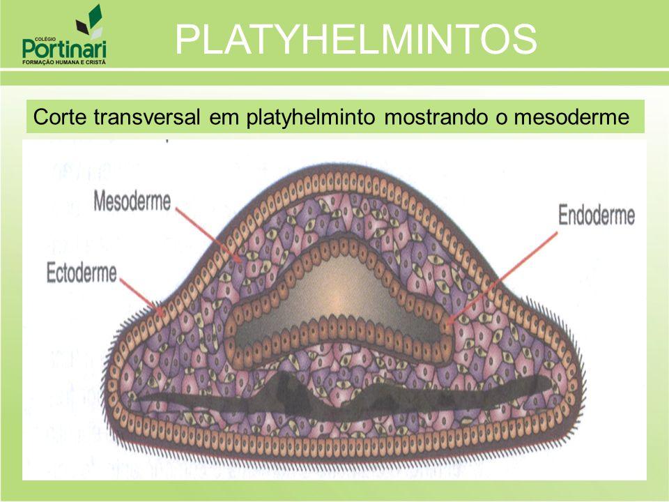 PLATYHELMINTOS Corte transversal em platyhelminto mostrando o mesoderme
