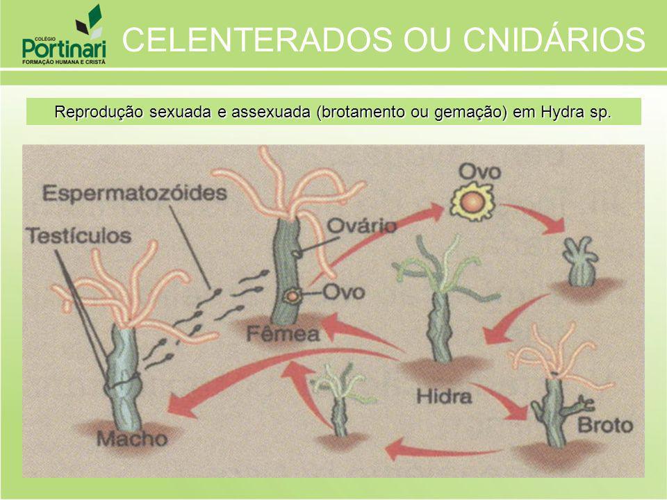 Reprodução sexuada e assexuada (brotamento ou gemação) em Hydra sp.