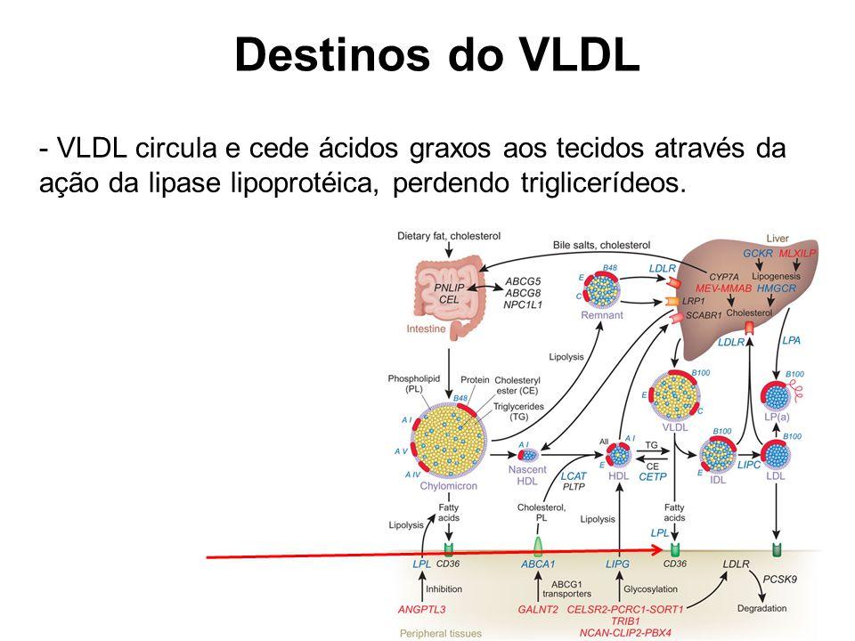 Destinos do VLDL VLDL circula e cede ácidos graxos aos tecidos através da ação da lipase lipoprotéica, perdendo triglicerídeos.