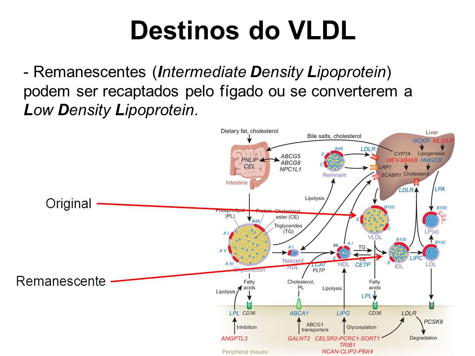 Destinos do VLDL Remanescentes (Intermediate Density Lipoprotein) podem ser recaptados pelo fígado ou se converterem a Low Density Lipoprotein.