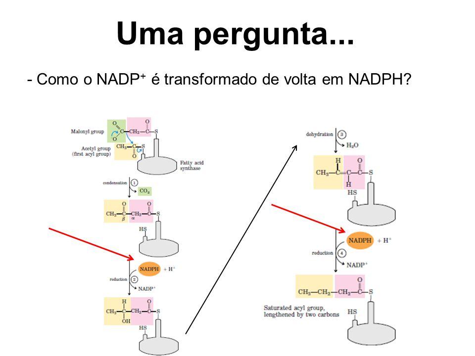 Uma pergunta... - Como o NADP+ é transformado de volta em NADPH