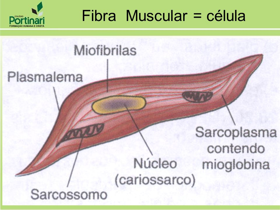 Fibra Muscular = célula