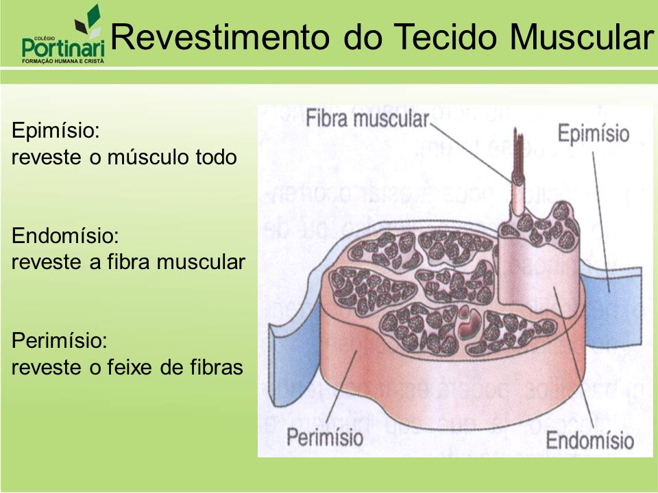 Revestimento do Tecido Muscular