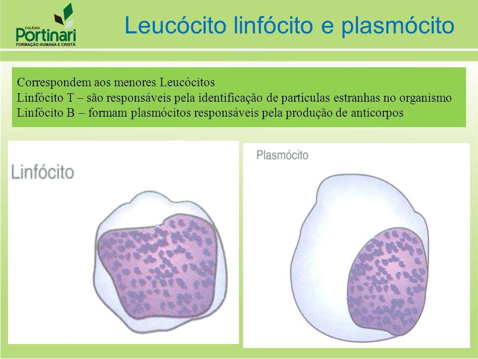 Leucócito linfócito e plasmócito