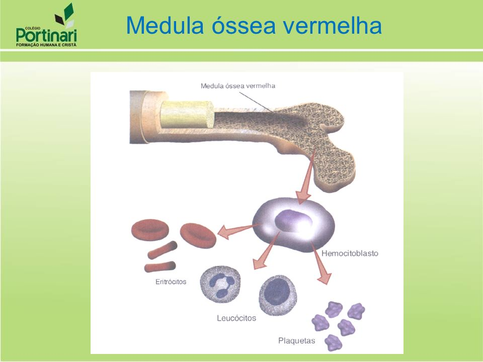 Medula óssea vermelha
