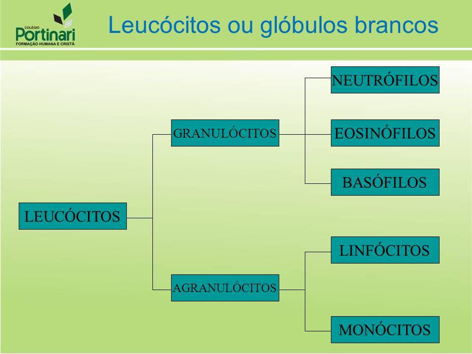 Leucócitos ou glóbulos brancos