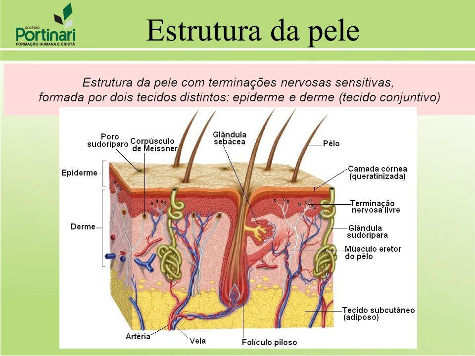 Estrutura da pele com terminações nervosas sensitivas,