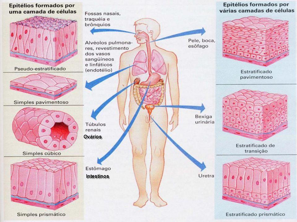 Ovários Intestinos