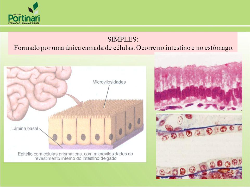 SIMPLES: Formado por uma única camada de células. Ocorre no intestino e no estômago.