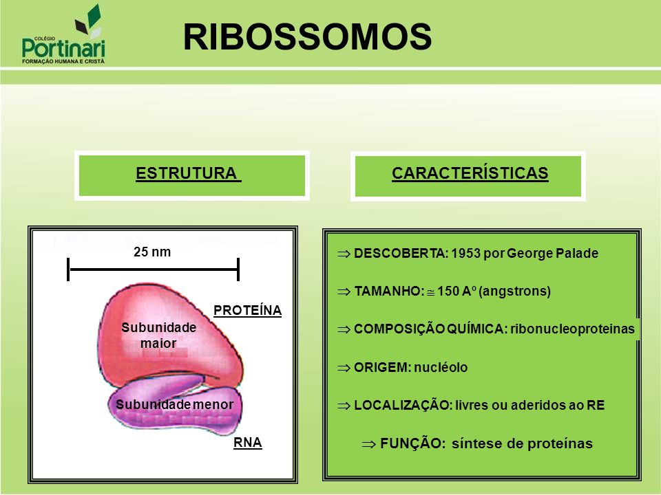RIBOSSOMOS ESTRUTURA CARACTERÍSTICAS  FUNÇÃO: síntese de proteínas