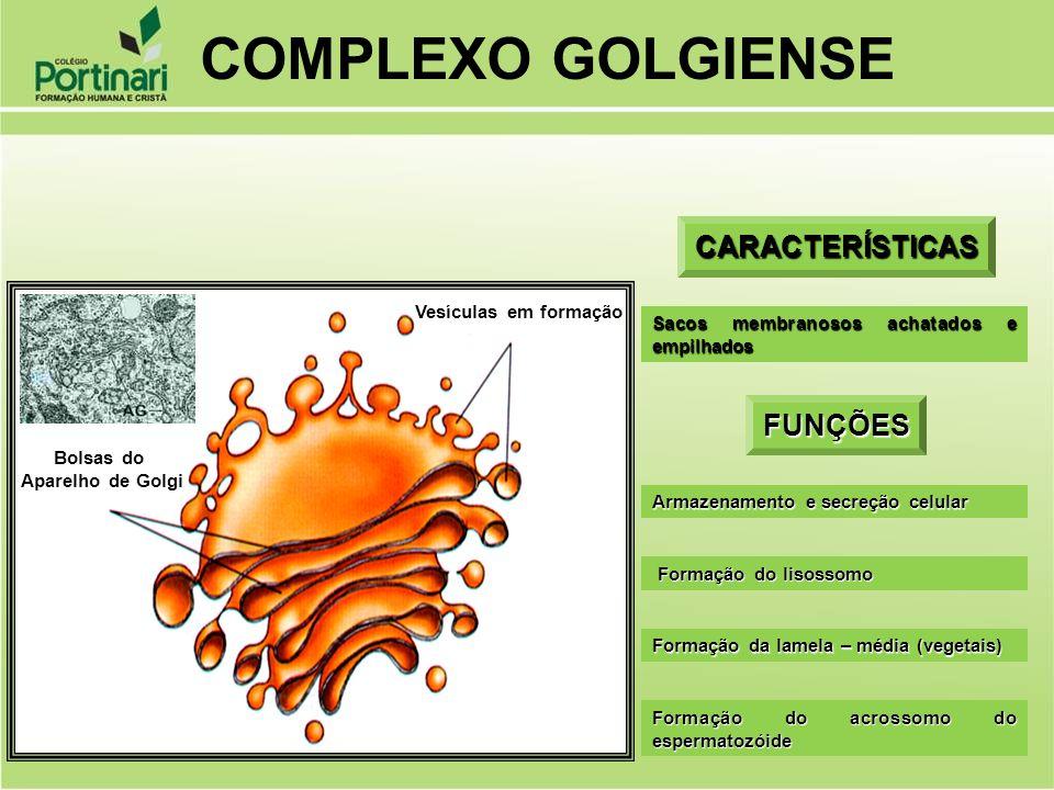 COMPLEXO GOLGIENSE CARACTERÍSTICAS FUNÇÕES Vesículas em formação