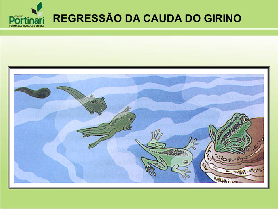 REGRESSÃO DA CAUDA DO GIRINO