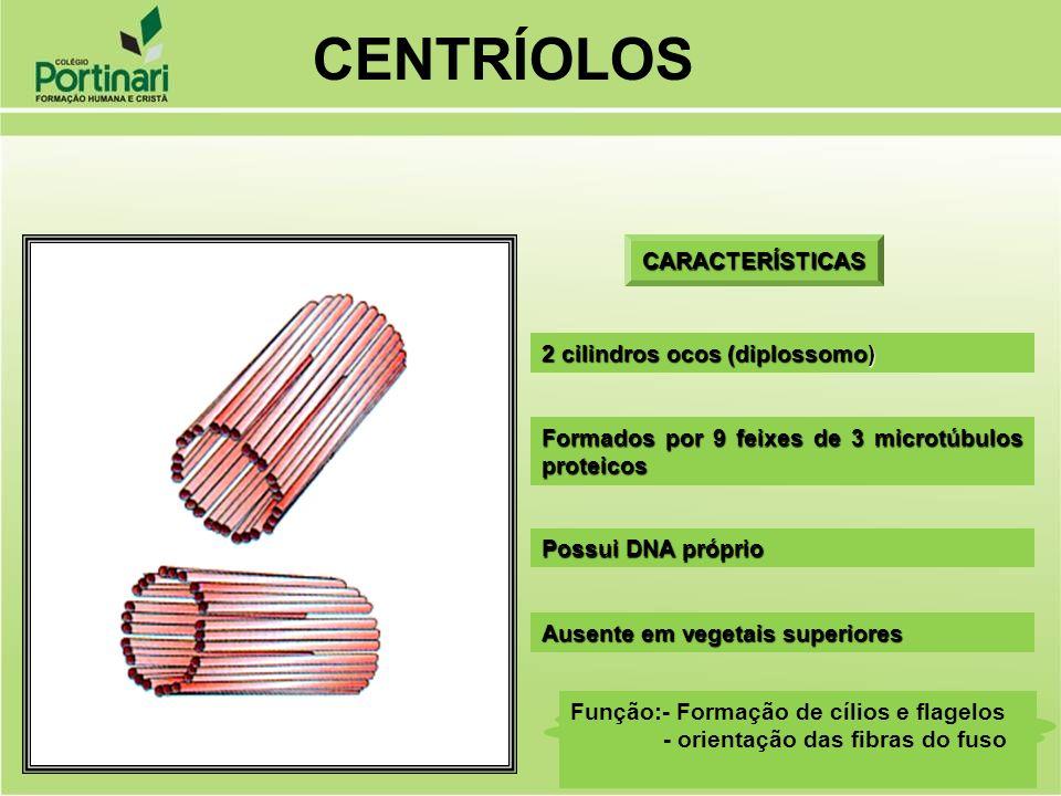 CENTRÍOLOS CARACTERÍSTICAS 2 cilindros ocos (diplossomo)