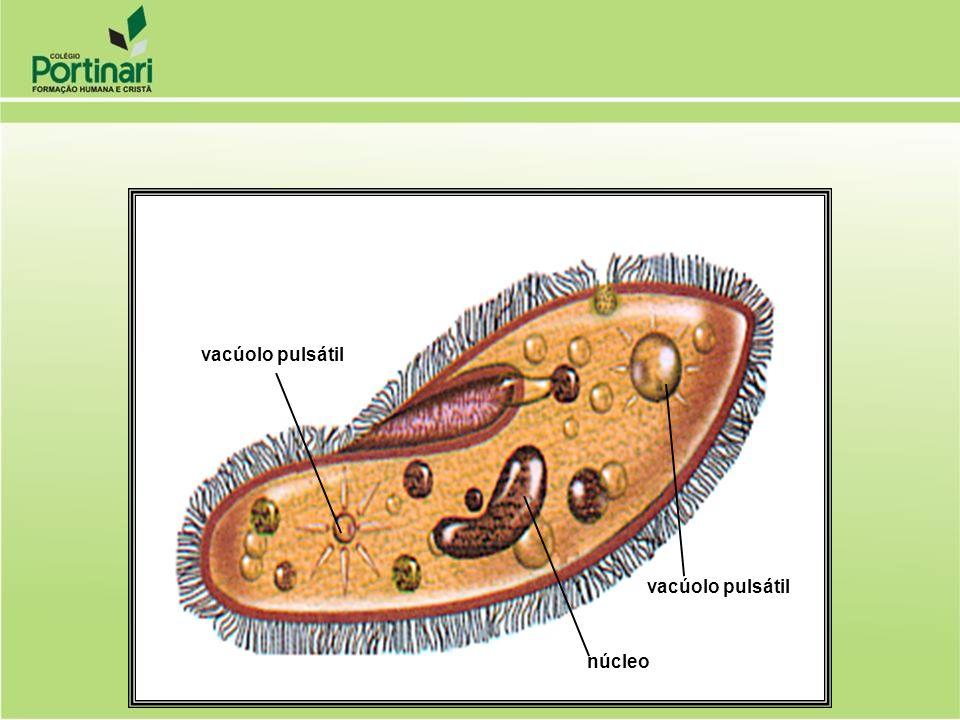 vacúolo pulsátil núcleo