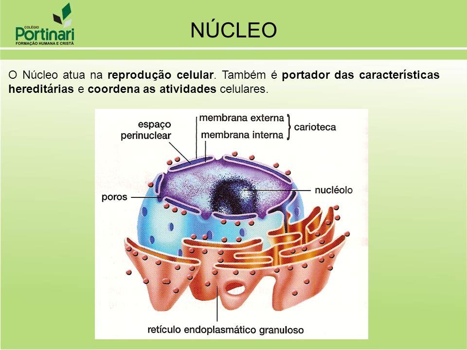 NÚCLEOO Núcleo atua na reprodução celular.