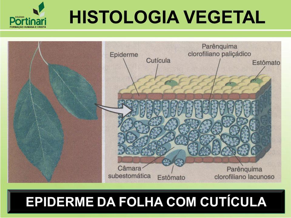 EPIDERME DA FOLHA COM CUTÍCULA