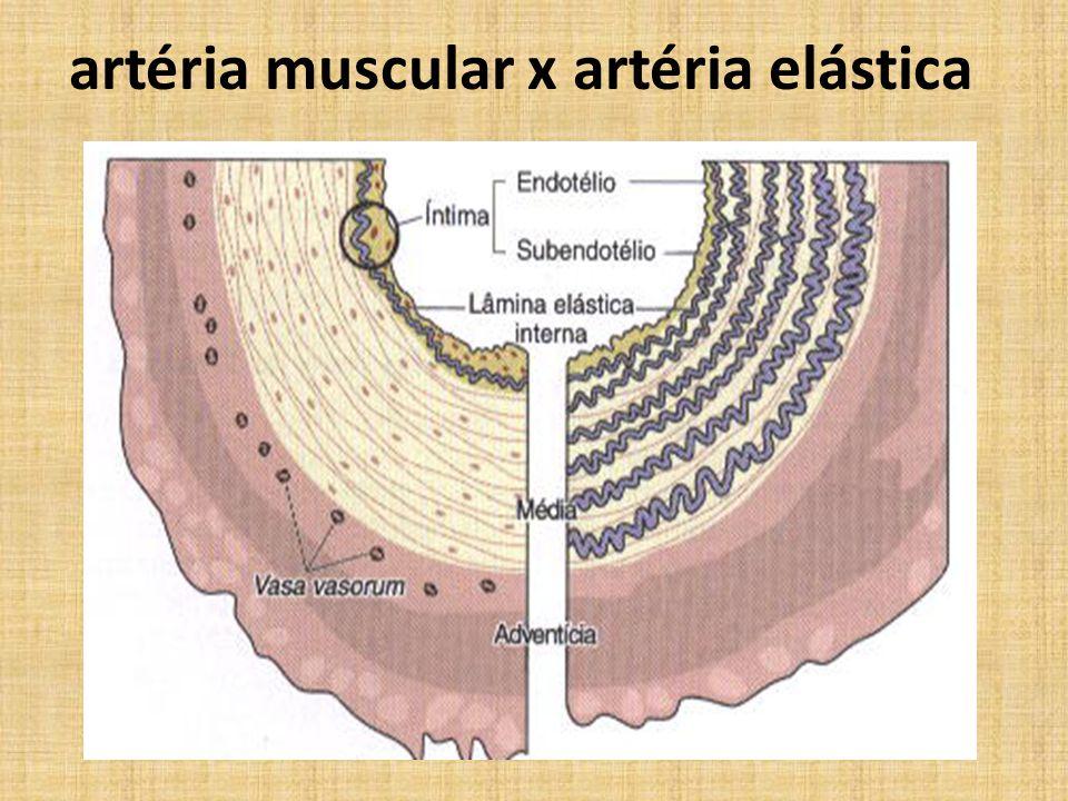 artéria muscular x artéria elástica