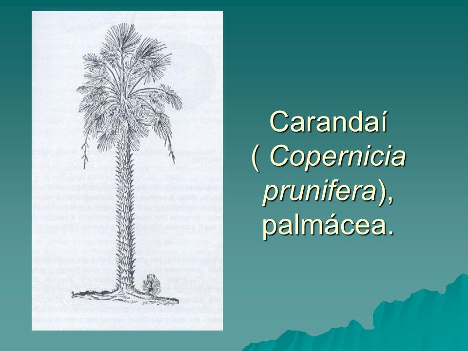 Carandaí ( Copernicia prunifera), palmácea.